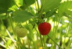 Röd och grön jordgubbe på busken Arkivbilder