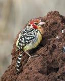 Röd och gul Barbet på en termitkulle Arkivfoton