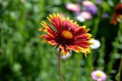 Röd och gul blomma Arkivfoto