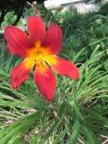 Röd och gul blomma Royaltyfri Bild
