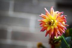 Röd och gul blomma Royaltyfri Fotografi