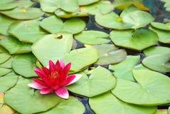 Röd och gul blomma med lilypads Royaltyfria Bilder