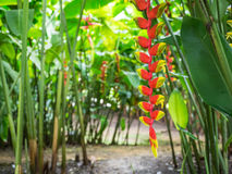 Röd och gul blomma mot gröna sidor Royaltyfri Foto