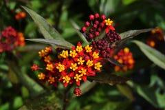 Röd och gul grupp av blommor Royaltyfri Bild