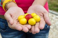 Röd och gul mirabelle Royaltyfria Bilder