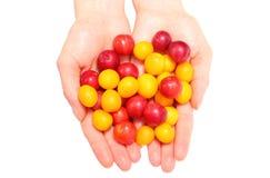 Röd och gul mirabelle i hand av kvinnan Vit bakgrund Fotografering för Bildbyråer