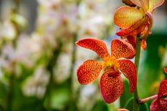 Röd och gul orkidéblomma Arkivbild