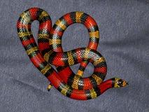 Röd och gul randig orm på grå bakgrund Arkivfoton