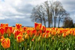 Röd och gul säsong för färgtulpanvår Arkivfoton