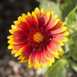 Röd och gul solros Royaltyfri Foto
