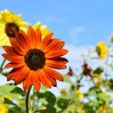 Röd och gul solros på nedgångdag i Littleton, Massachusetts, Middlesex County, Förenta staterna New England nedgång royaltyfri fotografi