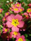Röd och gul trädgårds- blomma Arkivfoton