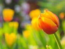 Röd och gul tulpan Arkivfoton