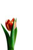 Röd och gul tulpan Fotografering för Bildbyråer