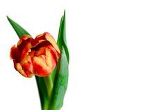 Röd och gul tulpan Royaltyfri Bild