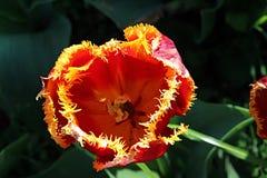 Röd och gul tulpan i en trädgård Royaltyfria Bilder