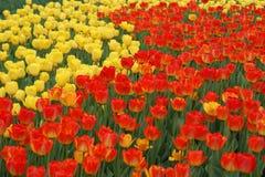 Röd och gul tulpanträdgård Arkivfoto