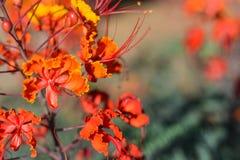 Röd och guld- blomma Arkivfoto