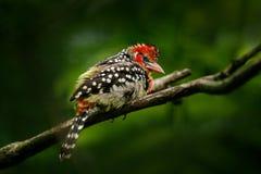Röd-och-guling Barbet, Trachyphonus erythrocephalus, Uganda Gul tukan från Afrika Fågel från djungel Härlig fågel från trop royaltyfri bild