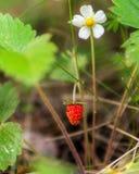 Röd och omogen lös jordgubbe fotografering för bildbyråer