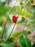 Röd och omogen lös jordgubbe royaltyfri fotografi