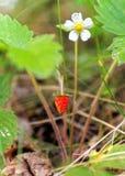 Röd och omogen lös jordgubbe arkivfoton