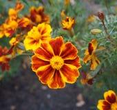 Röd och orange blomma för fransk ringblomma Arkivfoto