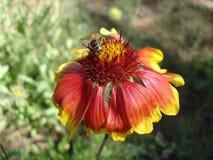 Röd och orange gaillardiablomma med biet Arkivfoto