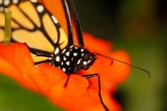 Röd och orange monarkfjäril, slut upp makroskott arkivbild