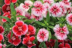 Röd och rosa Dianthus Royaltyfri Foto
