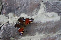Röd och svart fjäril på en stenvägg Arkivbilder