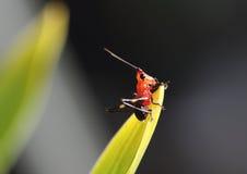 Röd och svart gräshoppa som sätta sig på ett blad arkivbilder