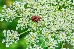Röd och svart randig stank buggar på en blomma Arkivbilder