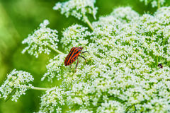 Röd och svart randig stank buggar på en blomma Royaltyfri Foto