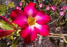 Röd och vit blomma i det ljusa solljuset av Bahamas royaltyfria bilder