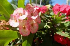 Röd och vit blomma i trädgård arkivbilder