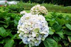 Röd och vit blomma i trädgård royaltyfria bilder