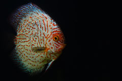 Röd och vit diskusfisk på det mörka akvariet Royaltyfri Foto