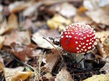 Röd och vit flugsvamp i skogen Arkivbild