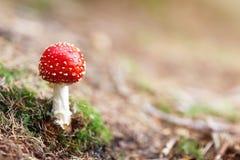 Röd och vit giftig champinjon för flugsvamp i skogen Arkivfoto