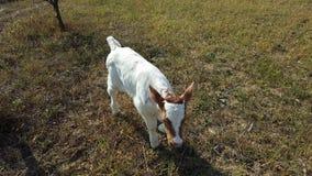 Röd och vit kalvbarnko Royaltyfri Foto
