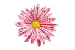 Röd och vit krysantemum Arkivfoto
