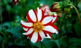 Röd och vit liten solblomma Arkivfoto