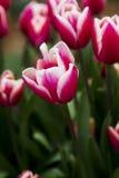 Röd och vit tulpan efter raim Arkivfoto