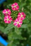 Röd och vit verbena blommar i en trädgård Arkivbilder