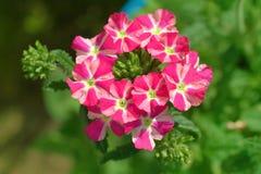 Röd och vit verbena blommar i en trädgård Royaltyfri Foto