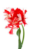 Röd och vitpapegojatulpan Arkivfoto
