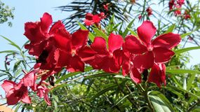 Röd oleander Royaltyfri Bild