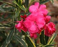 Röd oleander Arkivfoto