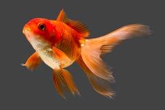 Röd Oranda guldfisk arkivfoto